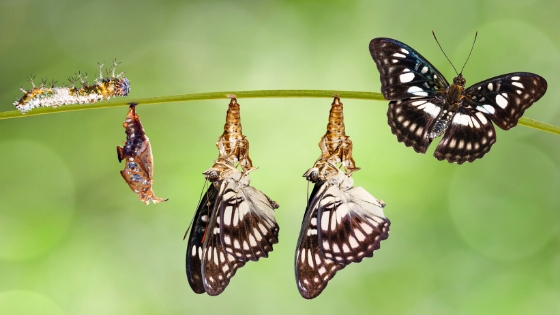 Butterflies going through metamorphosis